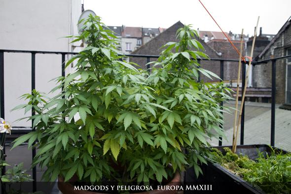 MadGods_y_Peligrosa_Beligica_Germania_590003